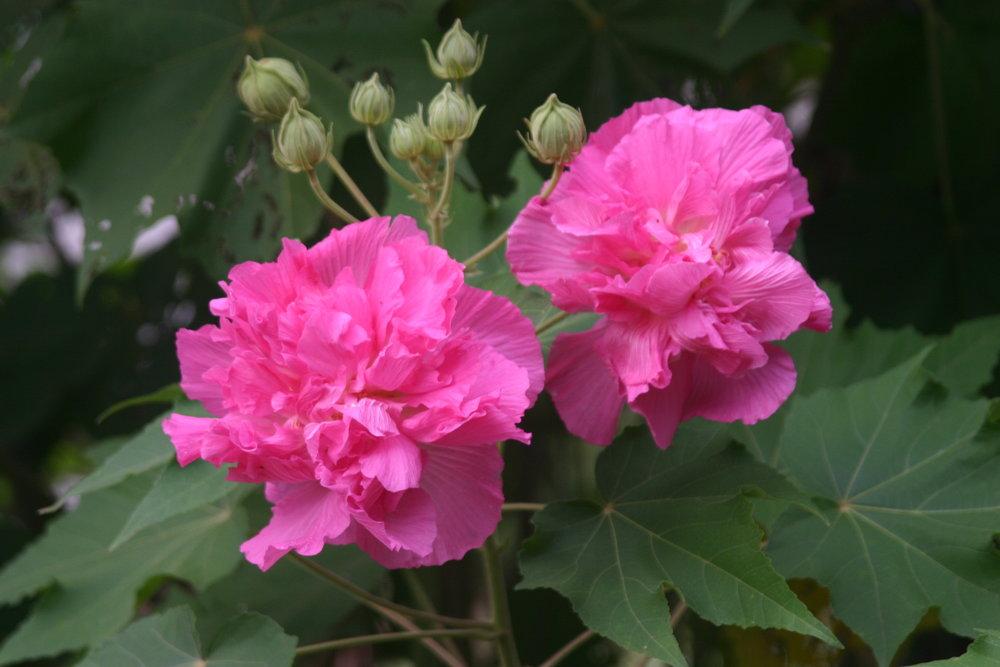 Hibiscus mutabilis.JPG