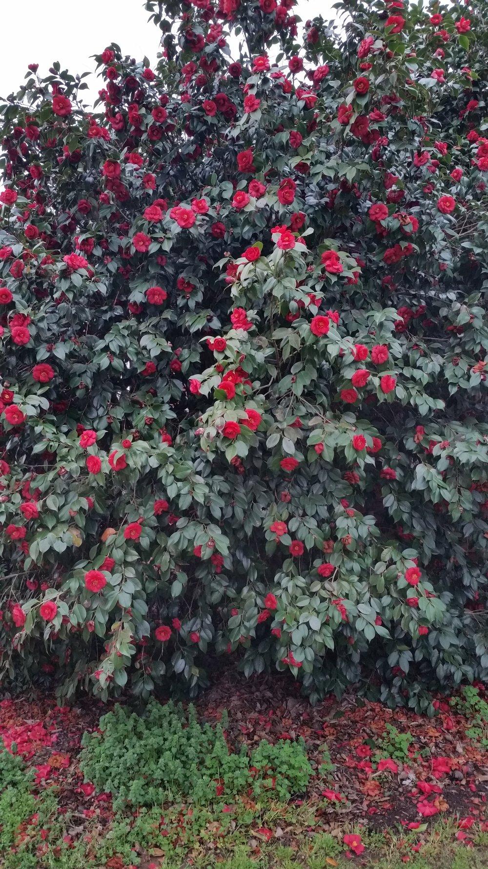A fully loaded shrub in the Snoddy garden