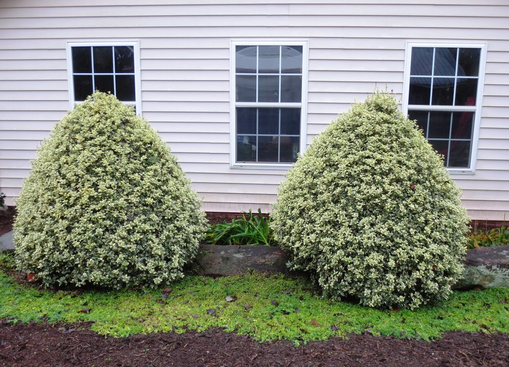 A pair of Goshiki Osmanthus, sheared into tight topiaries.