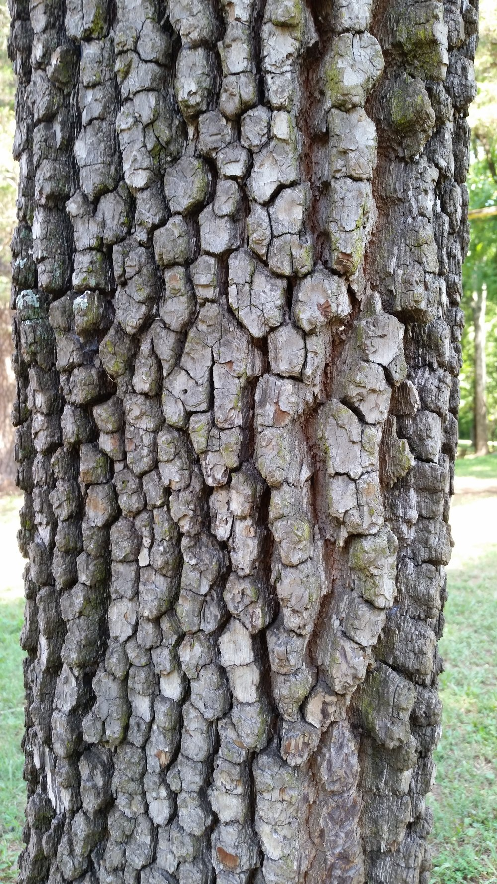 The distinctive fissured bark of a mature native persimmon,  Diospyros virginiana