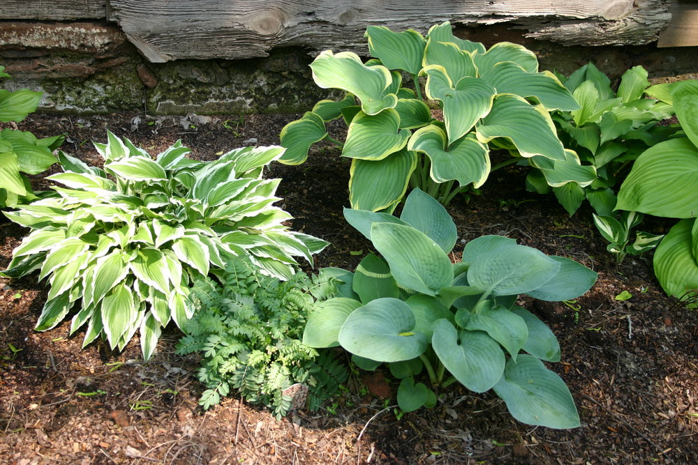 Sample of hostas, showing different leaf colors.