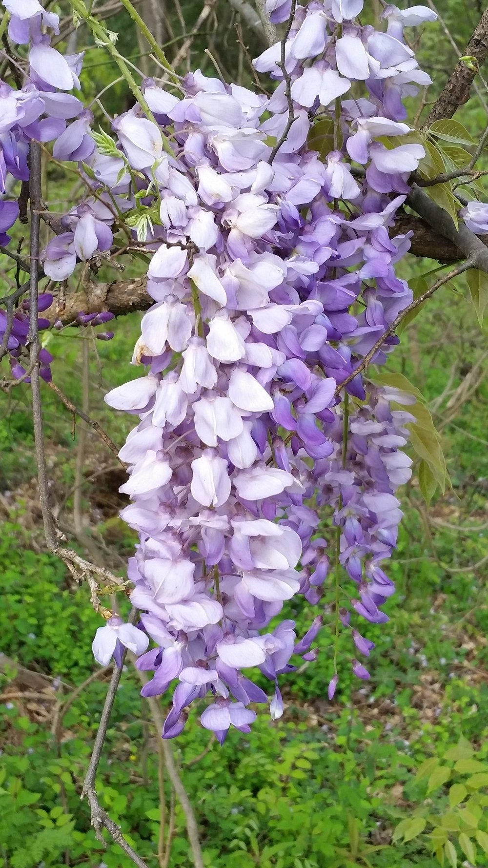 A close view of Wisteria bloom cluster.