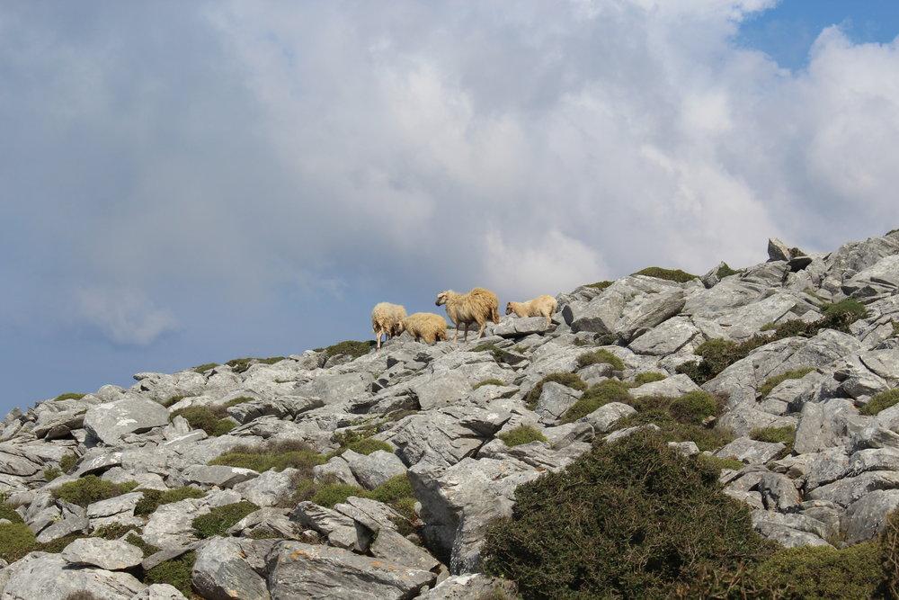sheep on mount zeus