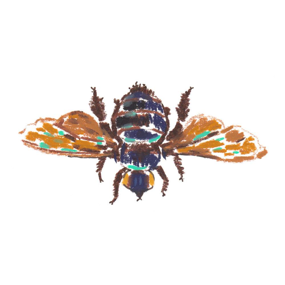 Bee Xylocopa Latipes.jpg