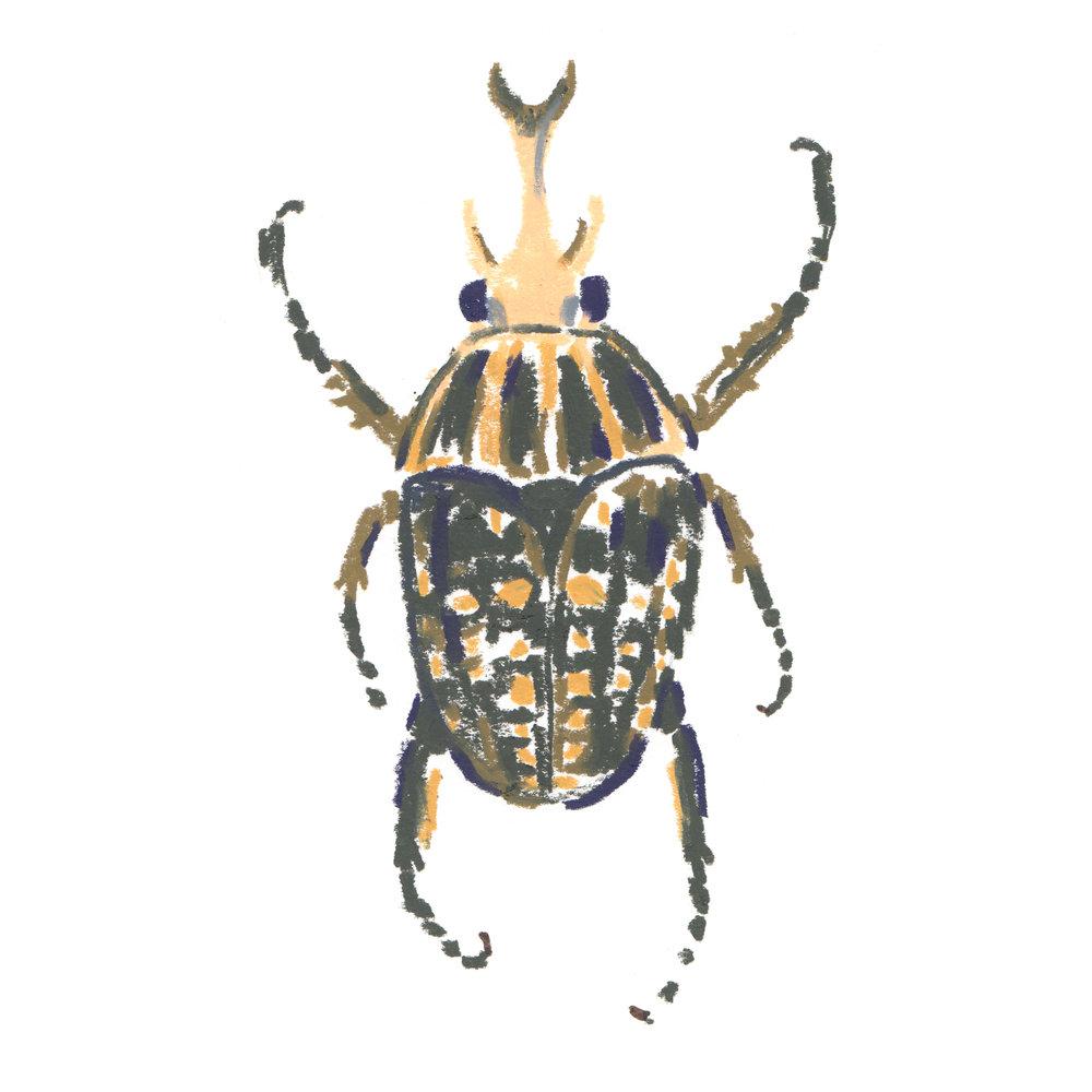 Beetle Chelorrhina polyphemus - Africa.jpg