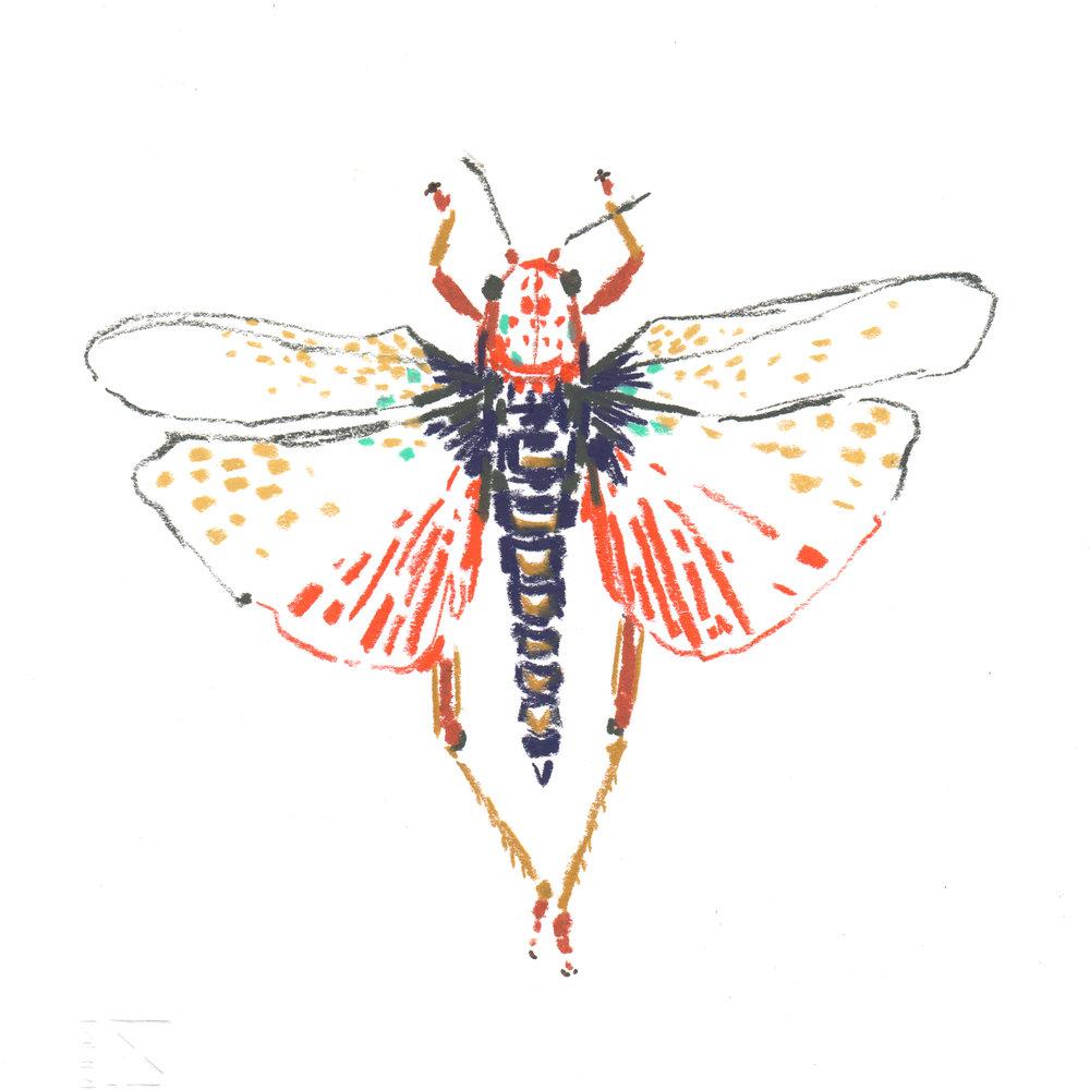 Grashopper - phymateus morbillosus - Africa.jpg