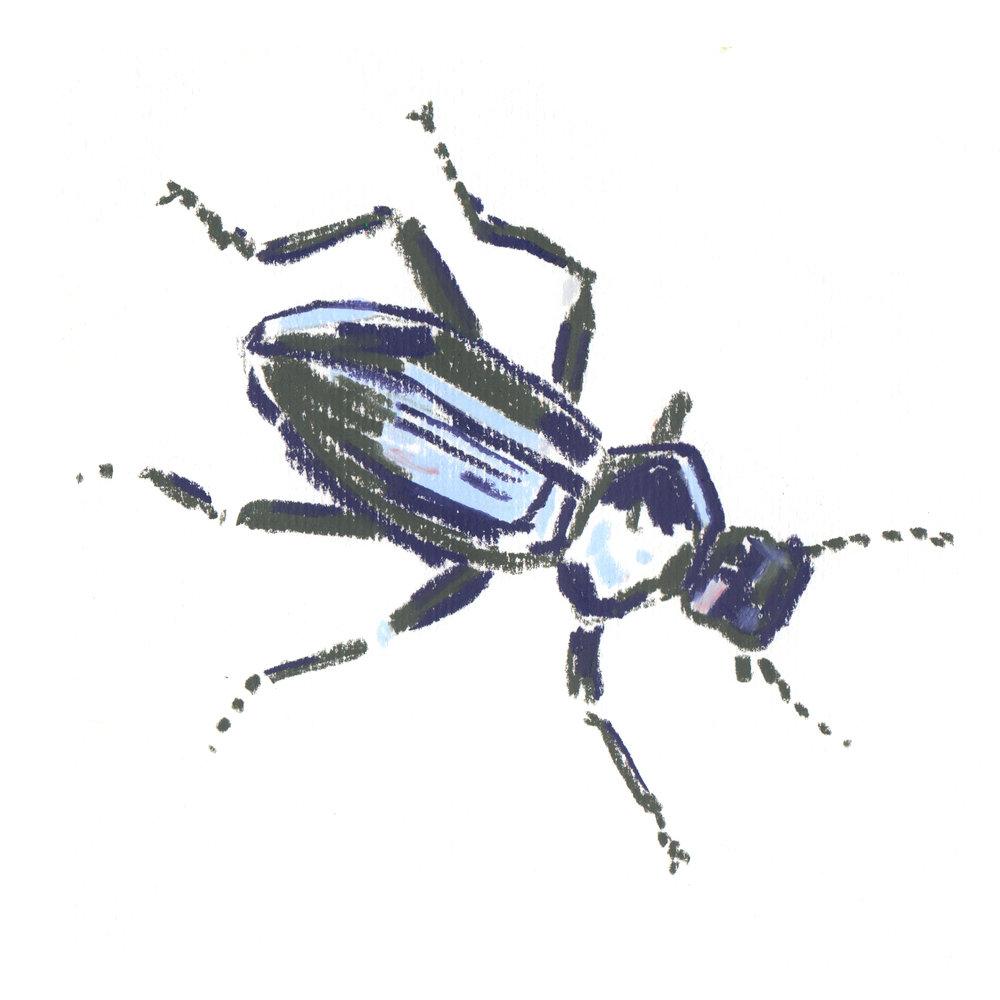 Common Black Beetle.jpg