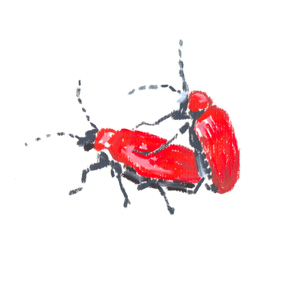Red Lilly Beetle.jpg