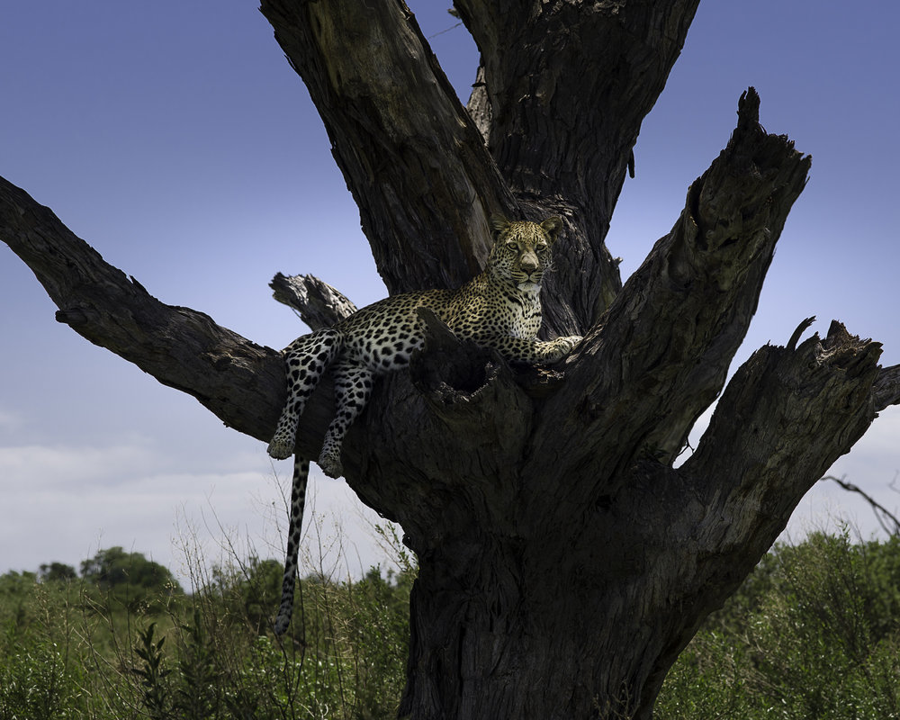 Steve Lumpkin.Leopard in Tree - Moremi -1.jpg