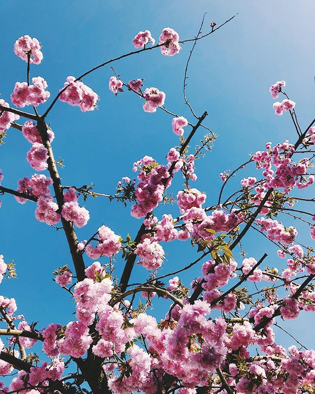 In love with the spring weather! ☀️ 🌸 . . . #blossoms #spring #tree #pink #japanesecherry #bluesky #cherry #vegan #blogger #veganblogger #picoftheday #blogger_at #blogger_de #darlingmovement #lifestyleblogger #thehappynow #foodblogger #germanblogger #austrianblogger #gooutside #sheisnotlost #letsgosomewhere #travelblogger #photography #girlblogger #wanderlust #vegansim #onelove