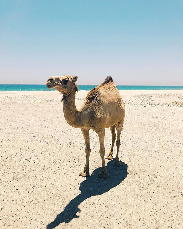 After two weeks of rain and cold, the sun is finally back and I love it!  I found this picture of this reall cute camel on my phone the other day and rememebered that I completely forgot to post it back when I was in Muscat. So enjoy. 🐪 ☀️ • • • #camel #animal #animallove #muscat #oman #sea #ocean #summer #beach #photography #friendsnotfood #veganism #onelove #blogger #austrianblogger #blogger_at #blogger_de #lifestyle #veganblogger #blogheimat #thehappynow #travelblogger #darlingmovement