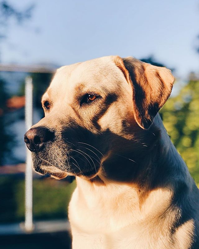 Happy second Birthday to the best dog, the cutest pupper, the ultimate good boy, and my dearest friend, Oscar! Love you so much! 🐕 ❤️ Photo credits go to my brother, @julius.grienberger 😘  #birthday #birthdaydog #birthdaypuppy #puppy #labrador #retriever #dogsofig #blogger #austrianblogger #portrait #dogportrait