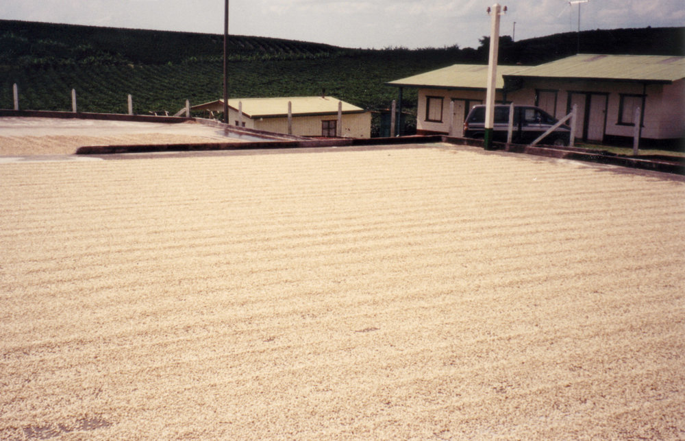 Coffee_Drying_on_concrete_Patio