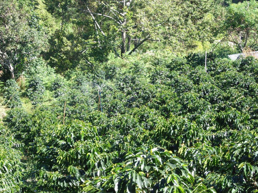 sumatran-coffee-1024x768.jpg