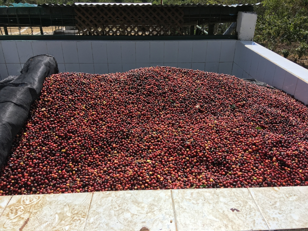 Ripe cherries waiting to be processed at the mill.