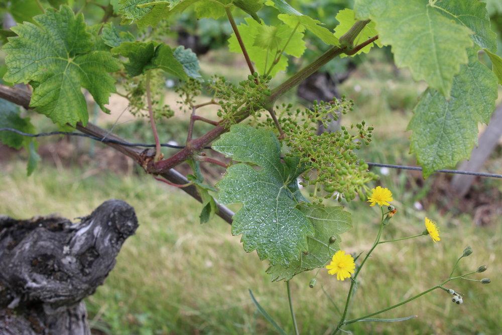 Rocheville Flowering.JPG