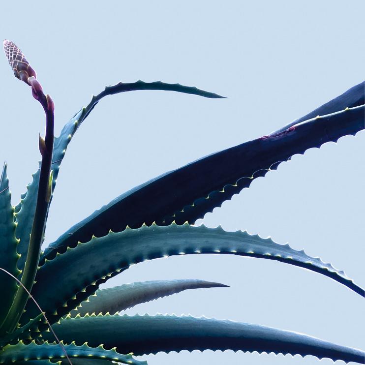 Aloe wave.jpg