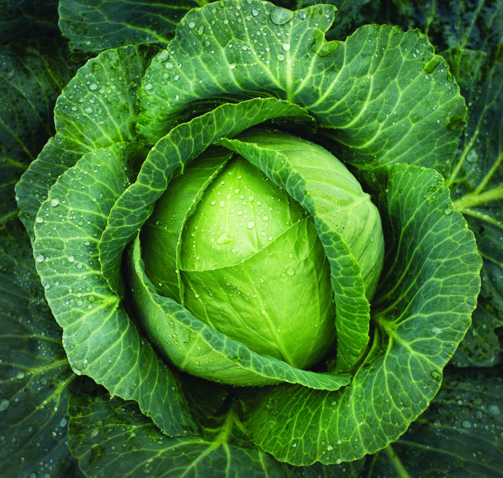 FP_Cabbage.jpg