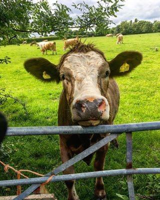 my cows.jpg