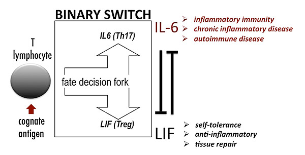 "When a T lymphocyte is activated by its antigen, it matures into either a tolerant T cell ""Treg"" or an effector cell, eg the inflammatory ""Th17"" cell. This is a critical fate-decision fork permitting self-tolerance to co-exist with immune attack against pathogens. If it goes wrong, auto-immune disease could result should naturally self-tolerant T cells become improperly switched towards self-attack - as occurs in MS where rogue TH17 cells start to attack myelin. A simple binary switch between LIF (for tolerance) and IL-6 (for inflammation) plays a critical role in regulating this fate decision fork - each exerting mutually opposing effects on the other. In auto-immune disease, LIFNano guides the switch for tolerance so protecting against autoimmunity."
