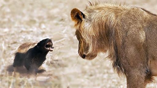 badger-lion.jpg