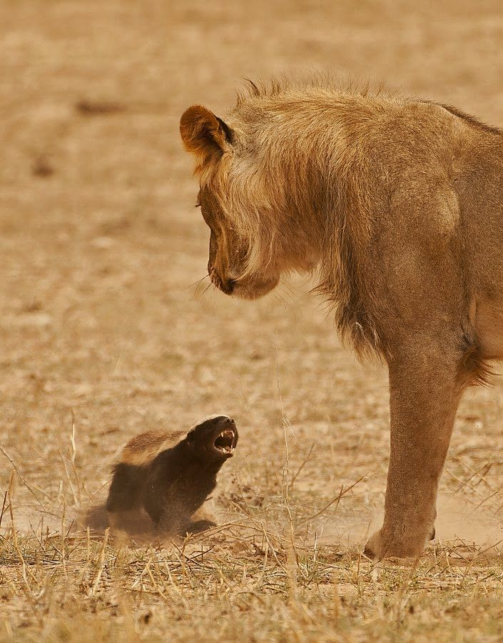 Honey Badger v lion.jpg