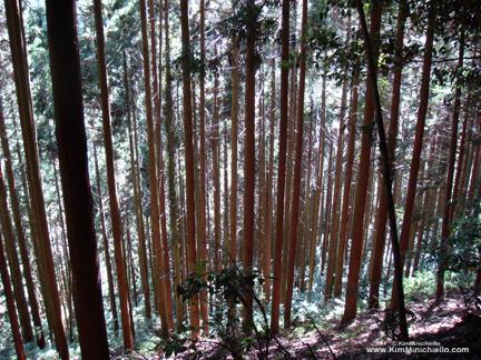 Forest from Kurama to Kibune