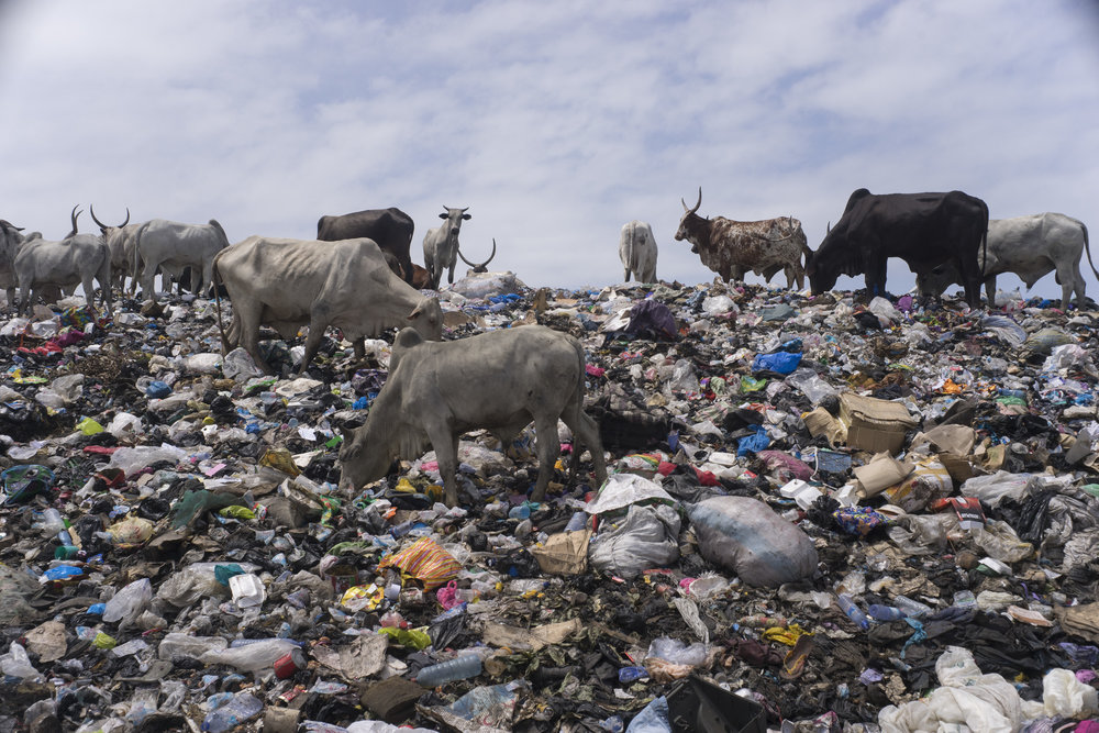Emaciated cows graze in the trash heaps at the edges of the slum.