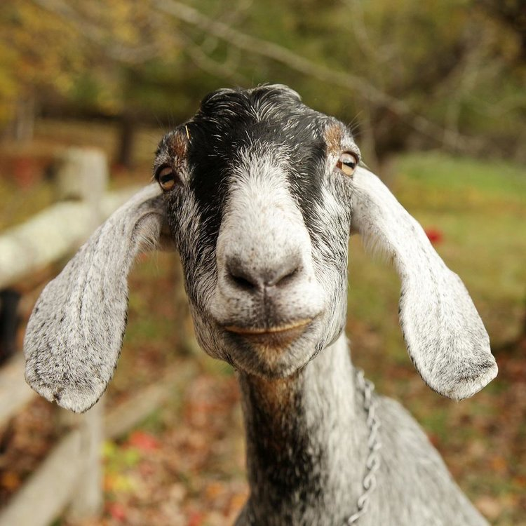Spend Time with the Goats on the Farm!