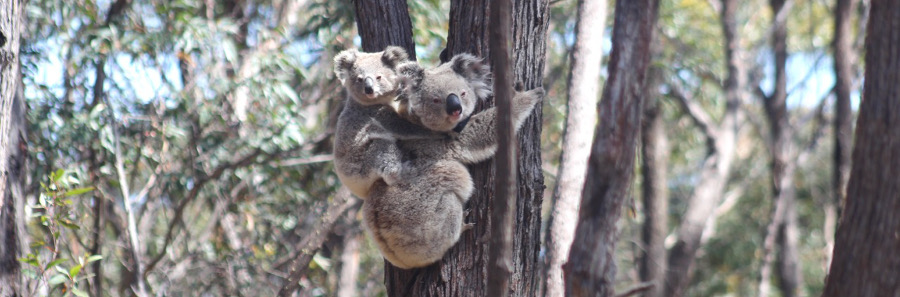 A pair of sub-alpine koalas; Freya, named after the goddess of fertility, and her joey Xena. (Photo by Amy Davis)