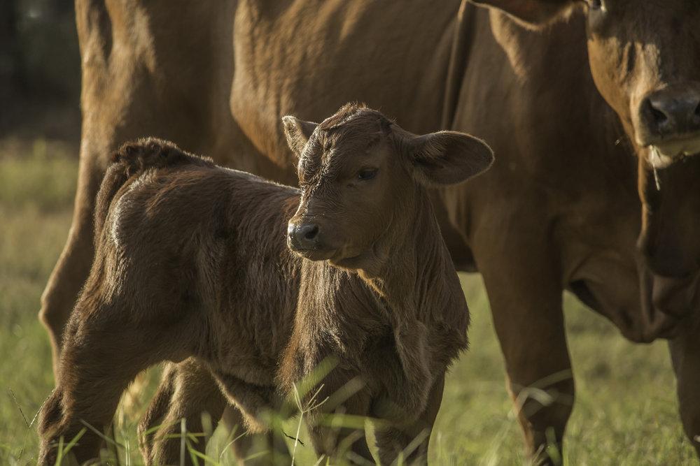Cows-4-2.jpg