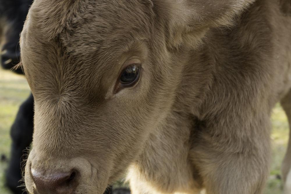 Cows-4.jpg