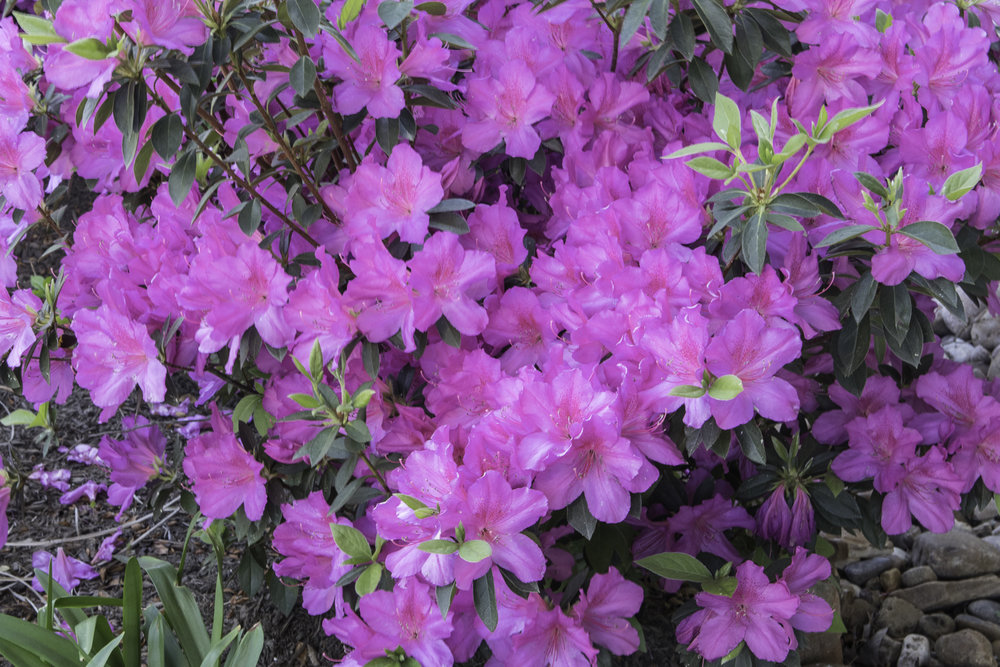 azaleas (1 of 6).jpg