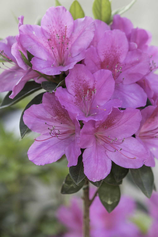 azaleas (3 of 6).jpg