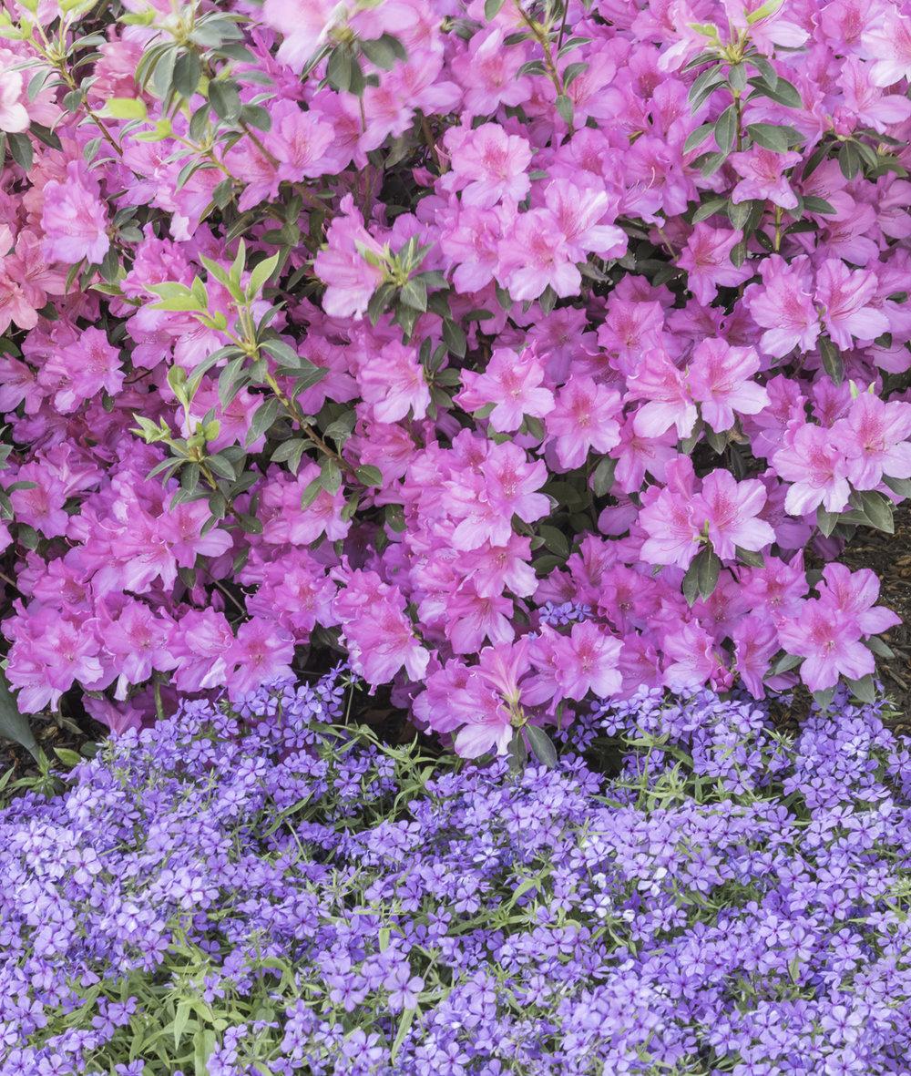 azaleas (2 of 6).jpg