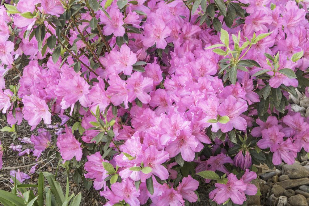 azaleas (1 of 1)-2.jpg