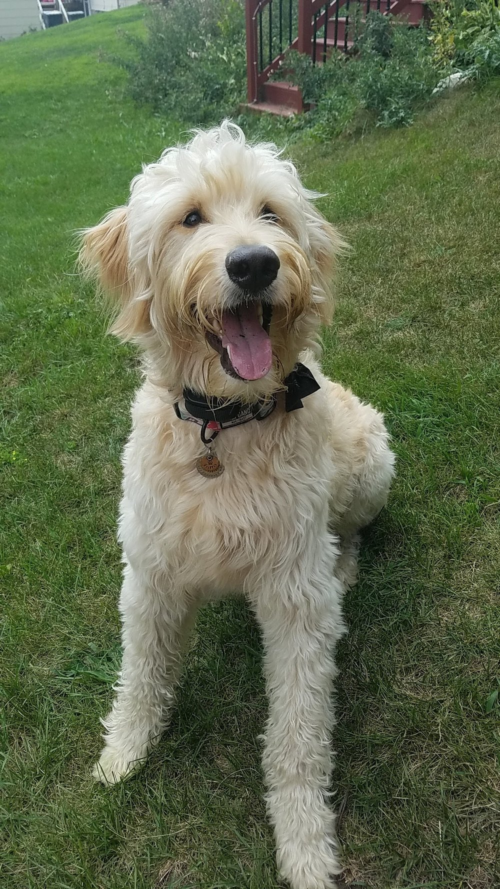 I have a loving two year goldendoodle named Griffin.