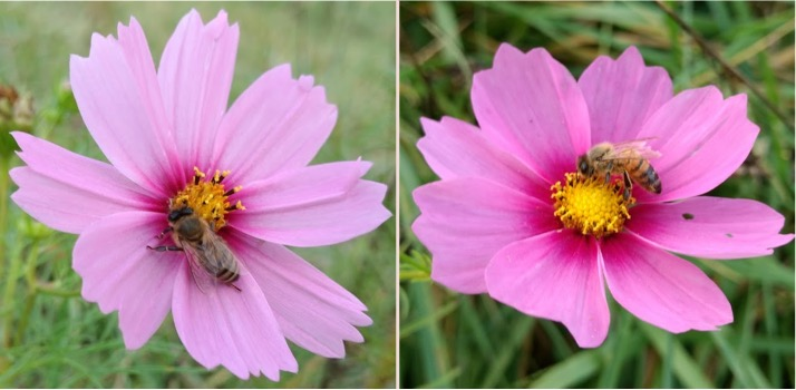 Cosmos flowers with honey bees. The flower on the left has a young bee, and the flower on the right has an old bee (discernible by the condition of their wings).