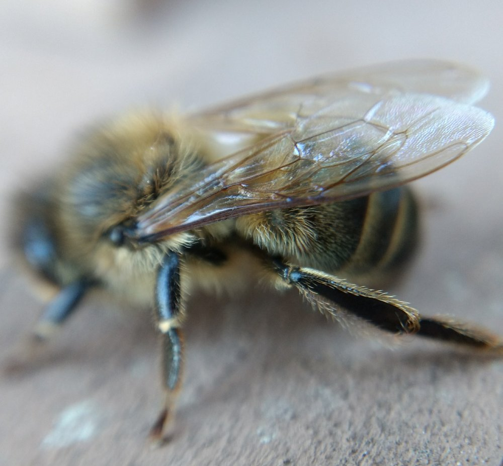 The beauty and complexity of apis mellifera