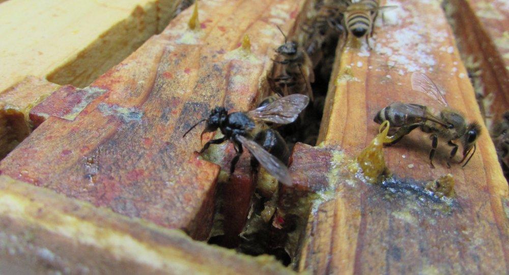 A honey bee showing symptoms of bee paralysis virus (BPV)