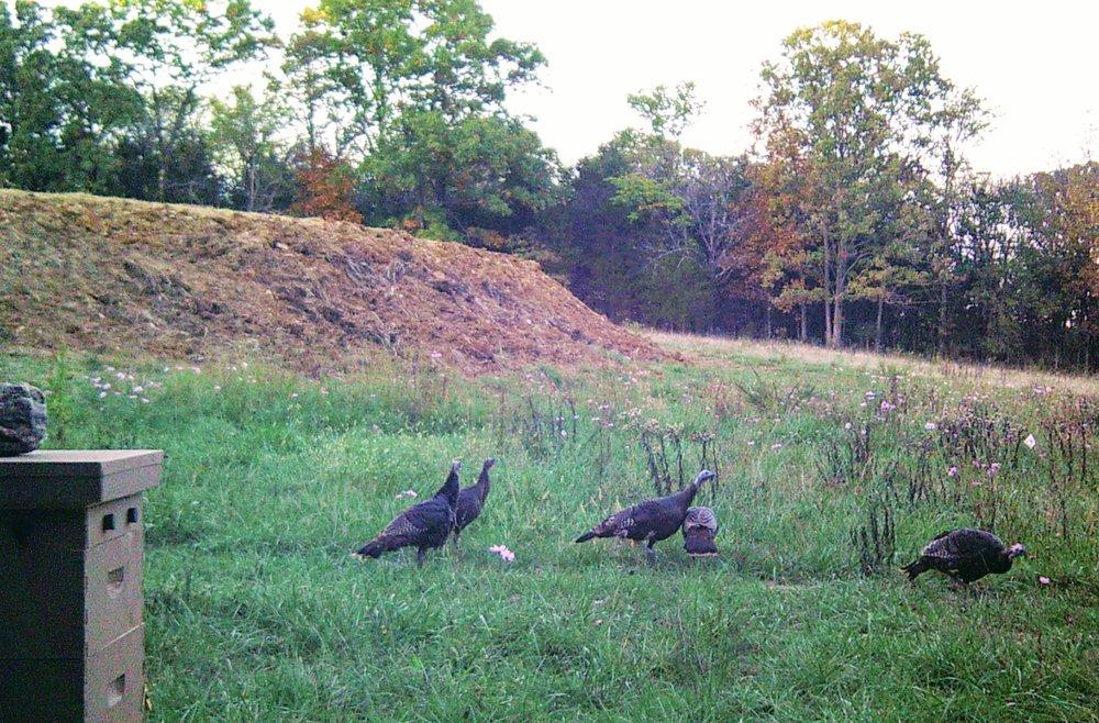 Turkeys in the apiary