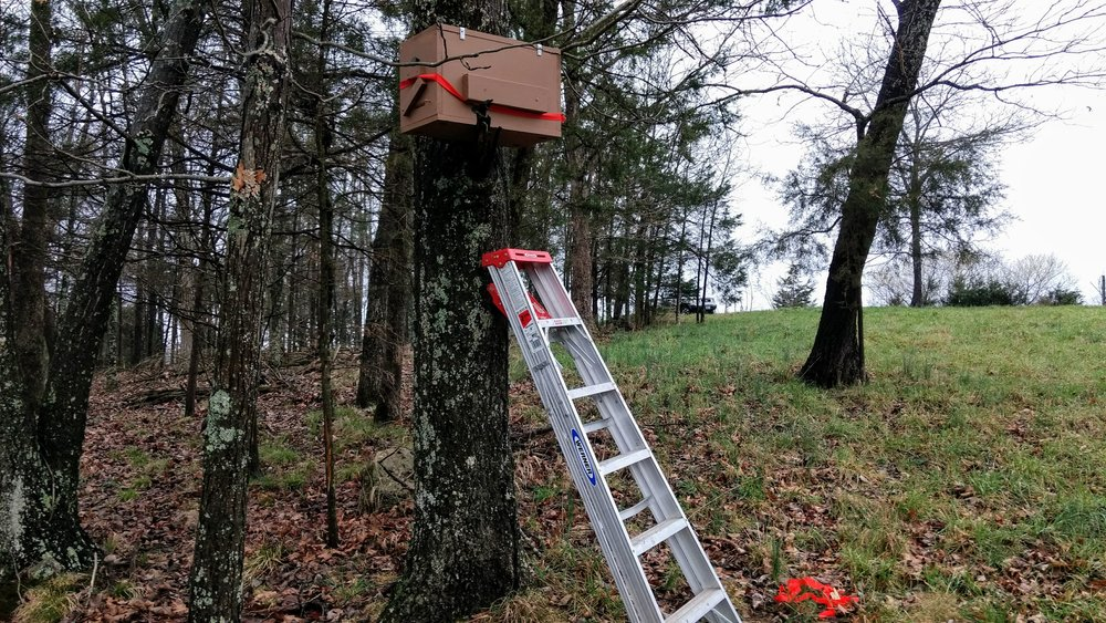 Hanging a swarm trap--also known as a bait hive--in a tree