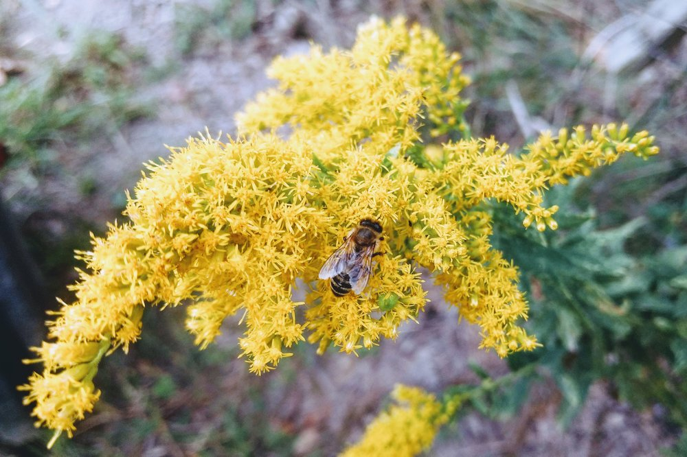 Honey bees don't start showing up on my goldenrod flowers until late September