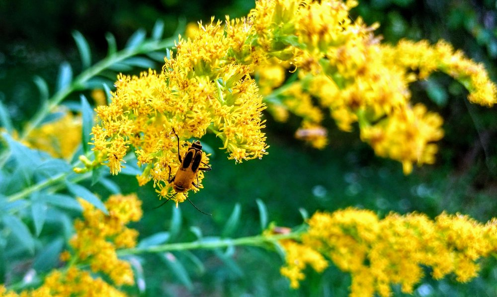 Goldenrod soldier beetles dominate the flowers in August and early September