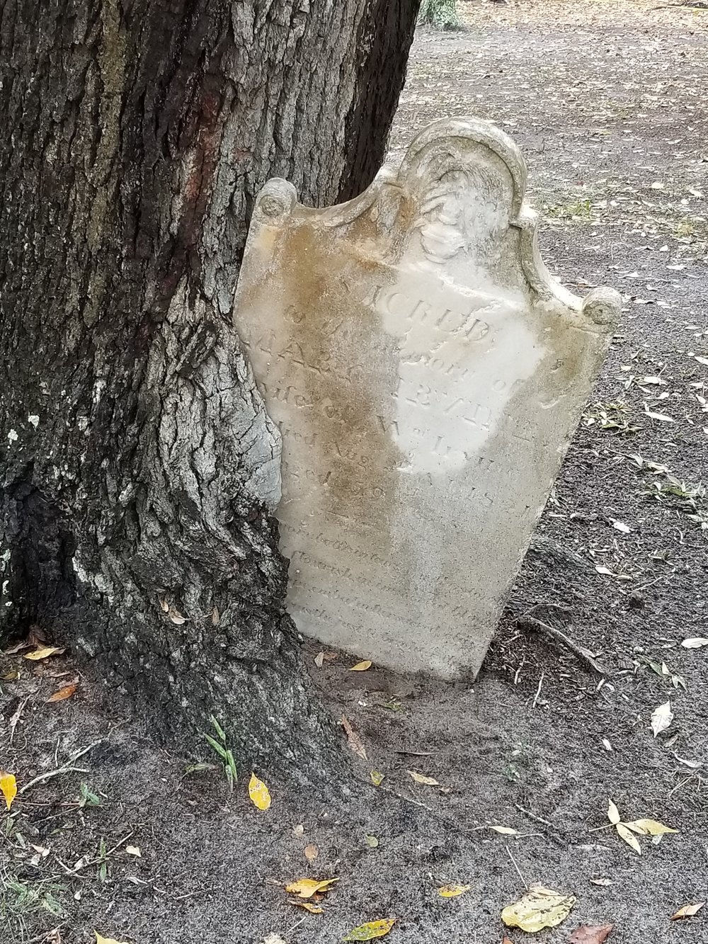 Mary Irvine's headstone is being absorbed by a live oak.
