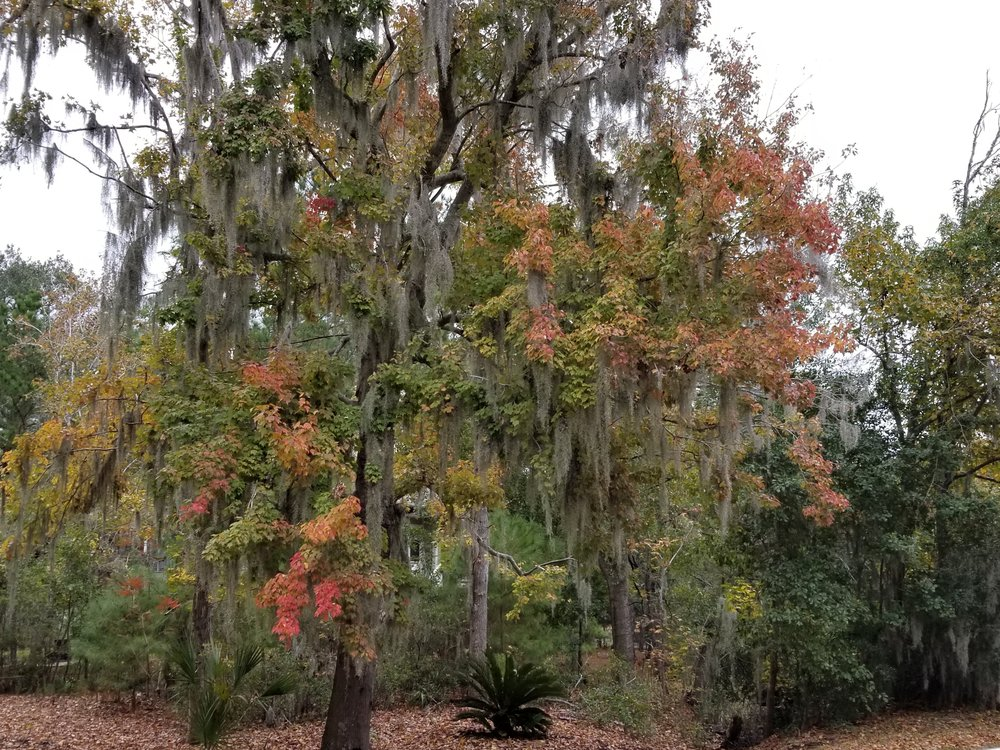 Vibrant fall colors coupled with Spanish moss.