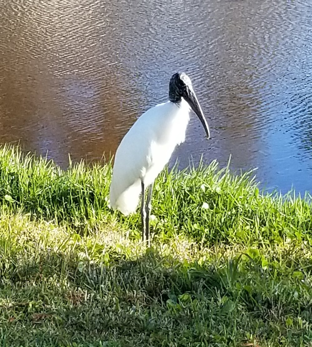 A wood stork at Sand Point Park.  To me, they look mis-matched - the beautiful pure white body with such an ugly (sorry, Mr. Stork) head, like a great egret in a death mask.