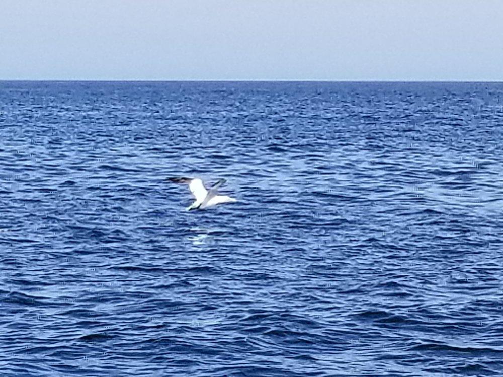 A gannet takes flight.