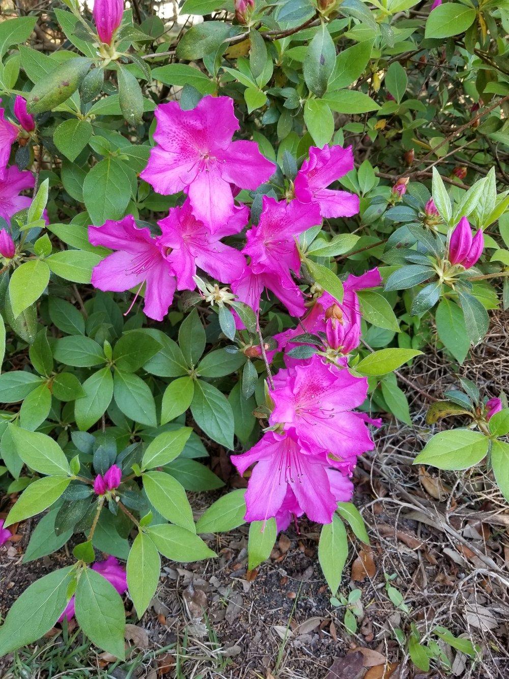 Azaleas in bloom.