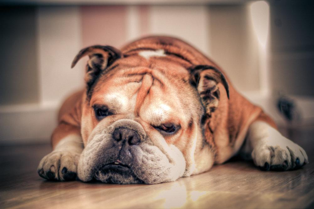 English_Bulldog_about_to_sleep.jpg